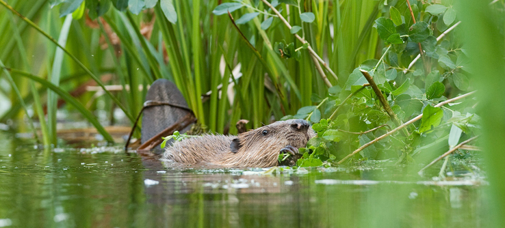 Beavers nearly died out in the area before being reintroduced in the 1980s.