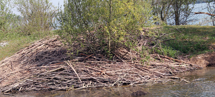 A beaver den—the kind of sign volunteers look out for.