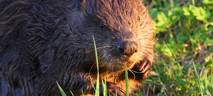 Beavers are experts at reshaping their environment.