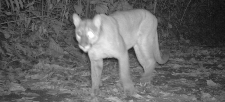 A puma caught on film by a camera trap.