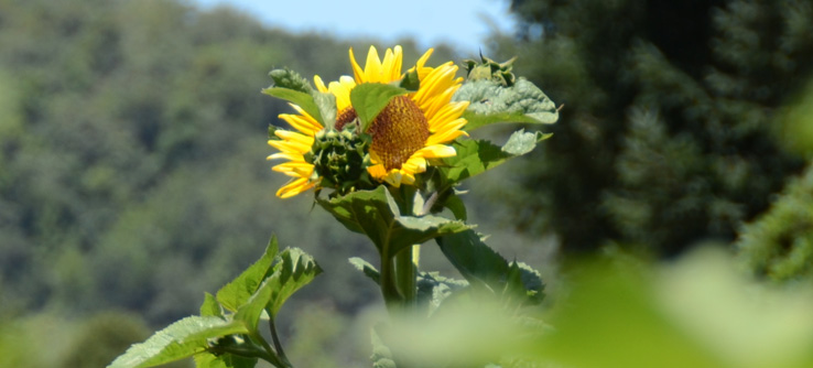 Sunflower, California's wine region