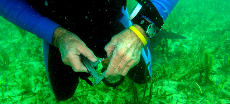 Diver measuring mollusk in marine reserve.