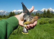 Volunteer to conserve songbirds and their habitat in Wyoming, USA