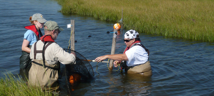 Tracking and tagging diamondback terrapins, Barnegat Bay Estuary, New Jersey, USA