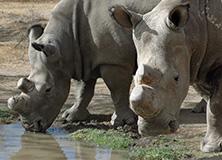 Black rhinos, Kenya
