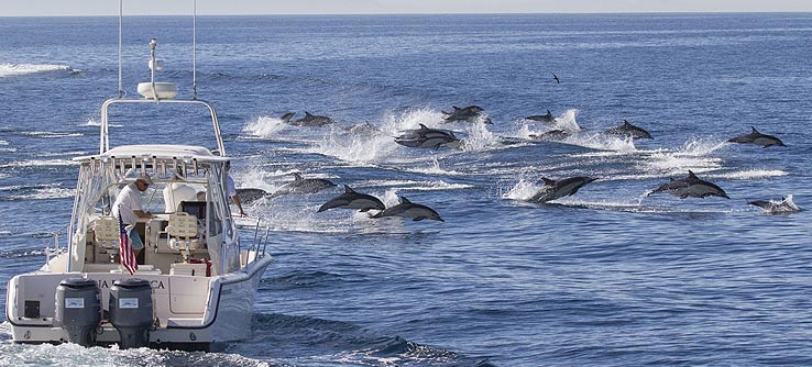 Earthwatch Expeditions: Large pods of Common dolphins are frequently observed porpoising to travel at high speeds