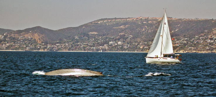 A blue whale surfaces near Dana Point.