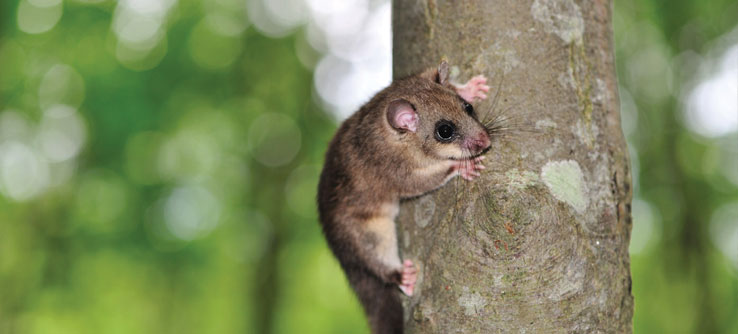 Find out how populations of rodents, like this dormouse, are faring.