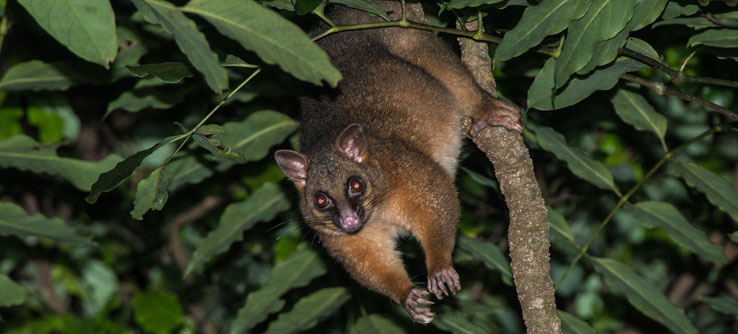 A brushtail possum found while spotlighting.