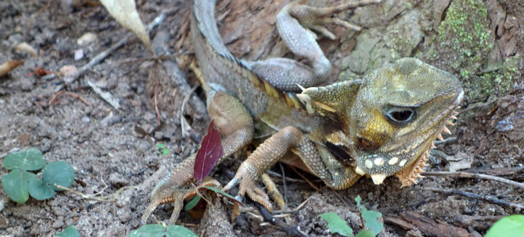The endemic Boyd's Water Dragon found while reptile surveying.