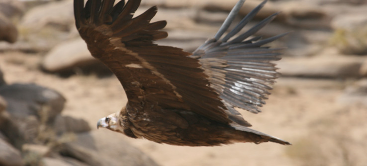 Bird of Prey, Mongolia