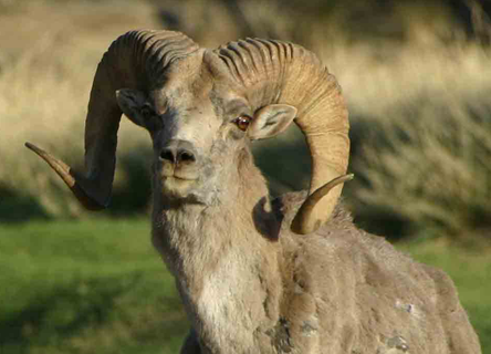 Mongolia's Ikh Nart Nature Reserve was established in 1996 to protect the flowing springs and habitat used by the Argali Sheep.