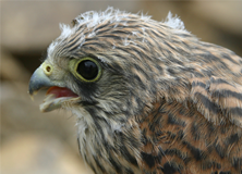 The Lesser Kestrel is a small falcon on the reserve within the Important Bird Area.