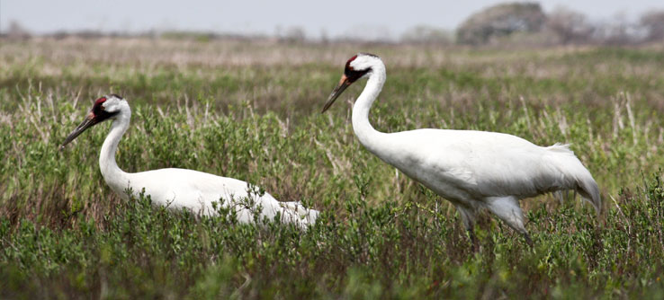 Scientists hope to bring the population of Whooping Cranes from 300 to more than 1,000.