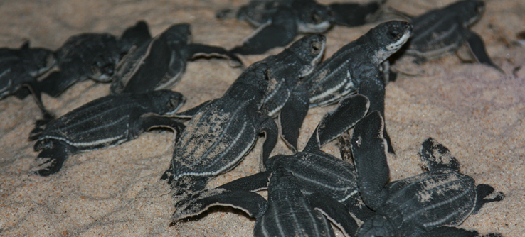 Hatchling turtles on beach