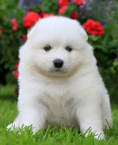 samoyed puppies for sale in ohio