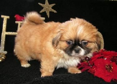 Smart Blue Eyed Shih Tzus Boy And Girl Miami Florida Pets For Sale