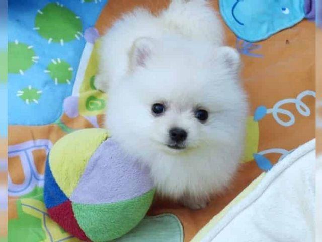 Pomeranian Puppies Atlanta Georgia Pets For Sale Classified Ads