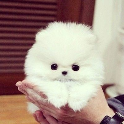 Purebred Pomeranian Puppies Available Atlanta Georgia Pets For Sale