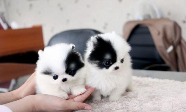 Pomeranian Puppy For Sale Atlanta Georgia Pets For Sale Classified