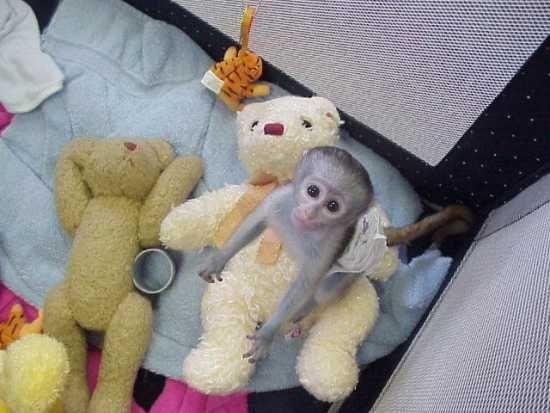 1212vcute Baby Capuchin Monkey For Adoption San Francisco California