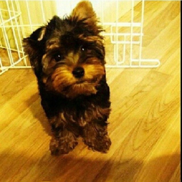 The Most Amazing Yorkie Puppies For Pet Lovers Jackson Mississippi
