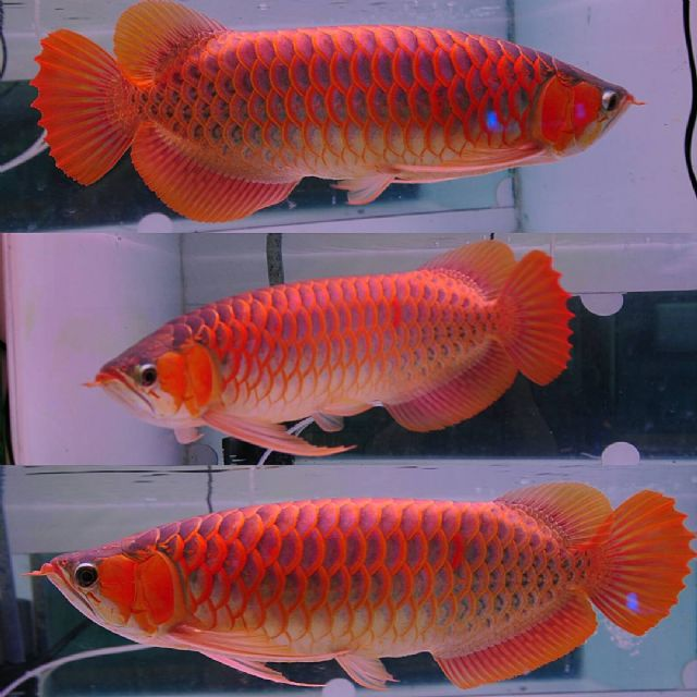 Jardini Fish For Sale: Asian Super Red And 24k Golden Arowana Fish. MIAMI FLORIDA