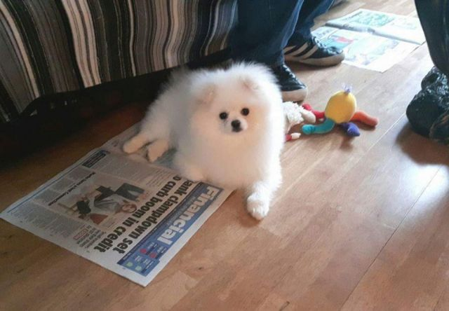 Charming White Pomeranian Puppies Available Houston Texas Pets For
