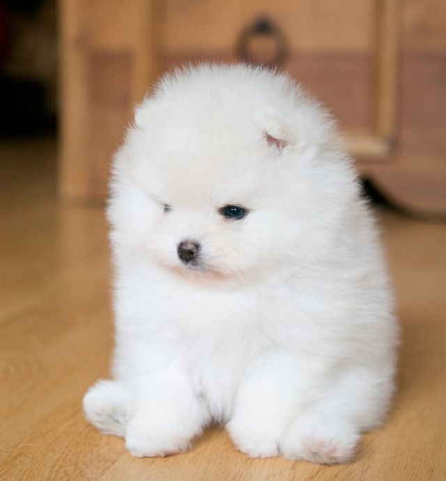 Stunning Pomeranian Puppies Houston Texas Pets For Sale Classified