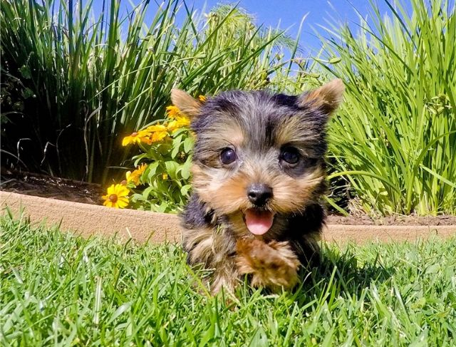 yorkie oklahoma adorable yorkie puppies guymon oklahoma pets supplies 9462
