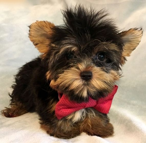 cheap yorkie puppies cute teacup yorkie puppies for sales casper wyoming pets 4394