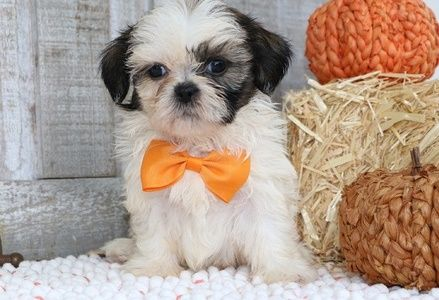 shih tzu puppies for sale in charleston sc pets for sale tri cities tennessee for sale listings 3011
