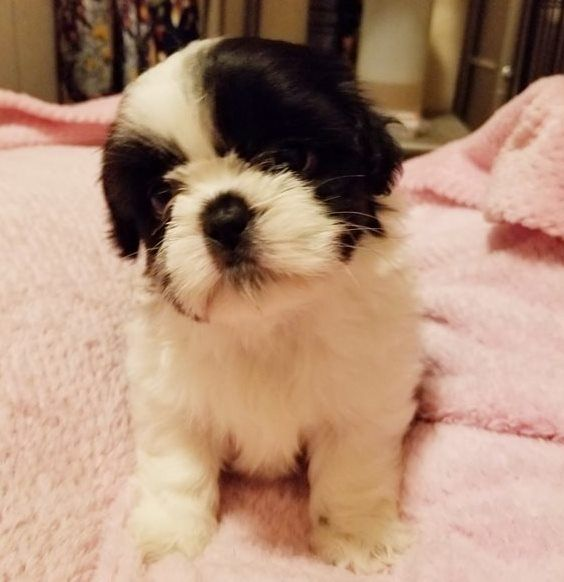 shih tzu puppies for sale in charleston sc pets for sale tri cities tennessee for sale listings 2776