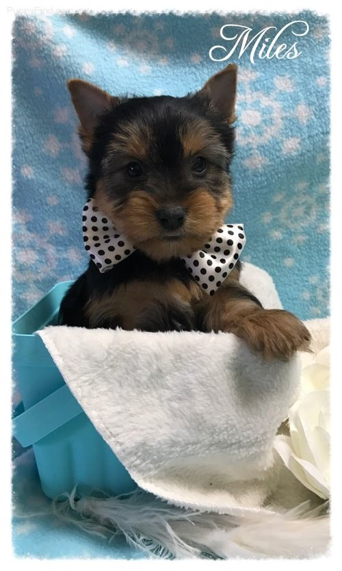 Brain Brave Teacup Yorkshire Terrier Puppies Carson City Nevada Pets