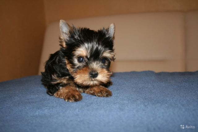 yorkie puppies for sale indianapolis yorkie puppies males females toy and teacup size 7448