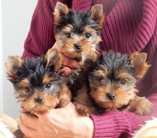 yorkie puppies for sale indianapolis pets for sale indiana for sale listings free classifieds 9269