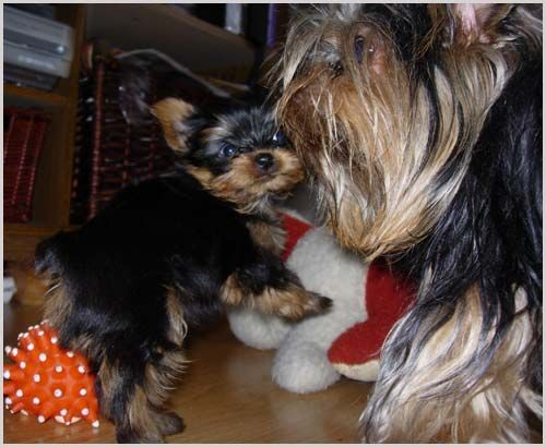 Ckc Yorkie Puppies Male And Female Pine Bluff Arkansas Pets For Sale