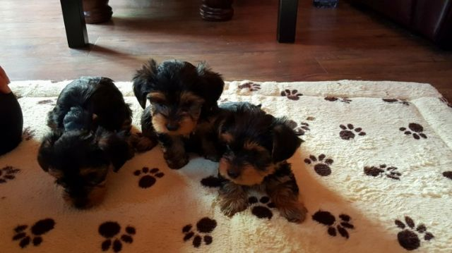 Lovely Toy Size Yorkshire Terrier Puppies Panama City Florida Pets