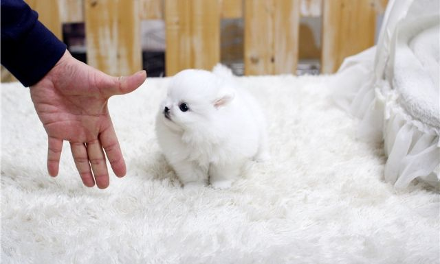 2 Teacup Pomeranian Puppies For Adoption Austin Texas Pets For Sale