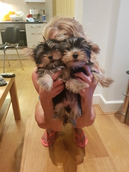 Magnificent Male And Female Teacup Yorkie Puppies Greenville