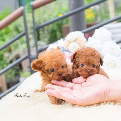 Toy Poodle Puppies Phoenix Az – Wow Blog