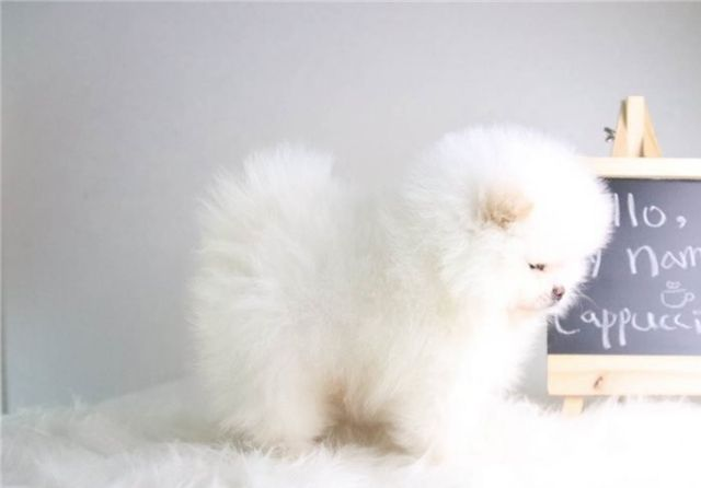 Two Awesome T Cup Pomeranian Puppies For Sale Dallas Texas Pets For