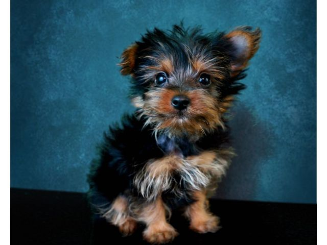 Yorkshire Terrier Male San Diego California Pets For Sale