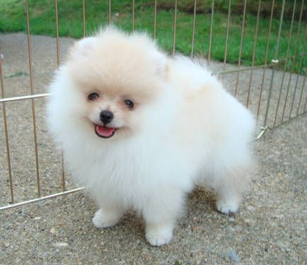 pomeranian puppies for sale in san diego micro cute pomeranian puppies for adoption san diego 9795