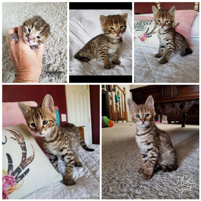 ALTHEA: Kittens for sale in cleveland ohio
