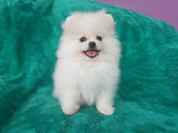 Pomeranian Puppies Oklahoma City Oklahoma Pets For Sale Classified