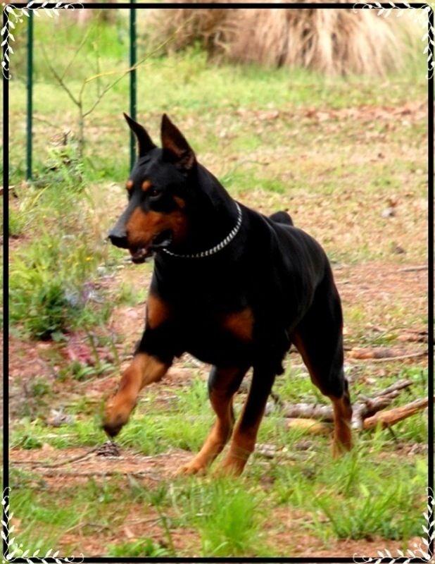 doberman puppies for sale in michigan