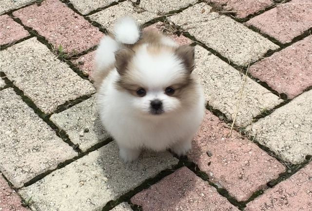 Charming Teacup Pomeranian Pups Myrtle Beach South Carolina Pets For