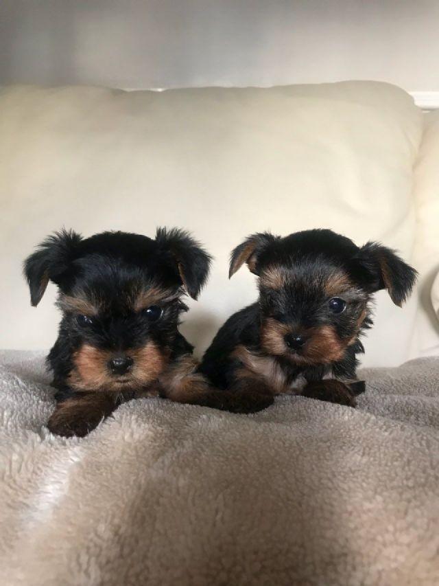 Miniature Yorkshire Terrier Puppies Springfield Massachusetts Pets