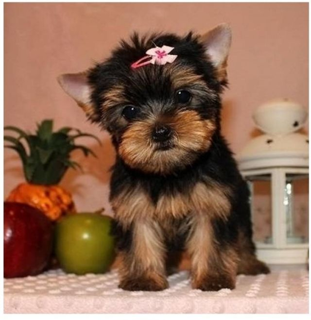yorkie puppies for sale sacramento ca pets for sale sacramento california for sale listings 6479